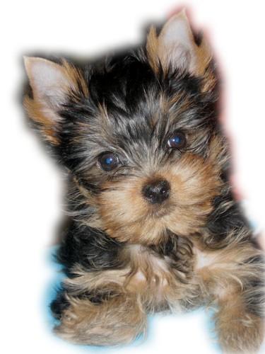 фото йорка щенка